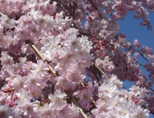 【桜】~あなたの見た桜はどの桜?~